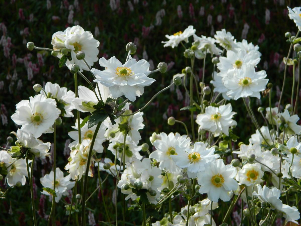 Anemone x hybridus