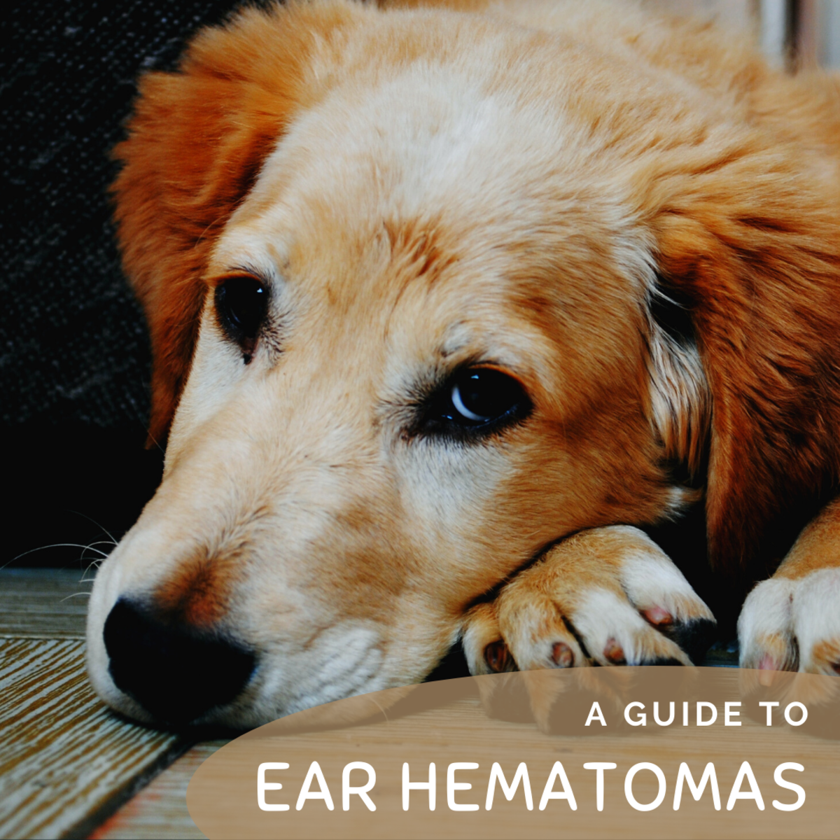 Is your dog suffering from a swollen ear flap or ear hematoma?