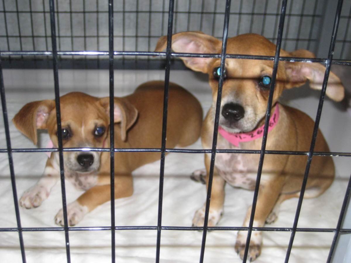 "These adorable ""Chiweenie"" puppies were surrendered to the Weatherford/Parker County Animal Shelter last summer when the owner of their mother could not find homes for them."
