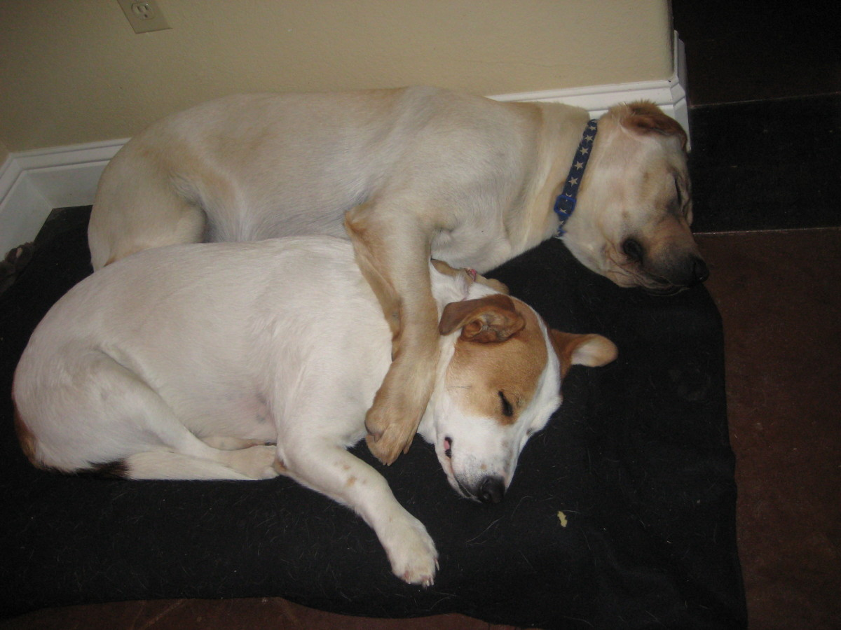 Charlie, the Labrador who was given to us by friends who had a litter of 11 puppies, loves his pal Jessi, our mixed breed shelter dog. They play constantly and keep each other company when the humans in our family are not around.
