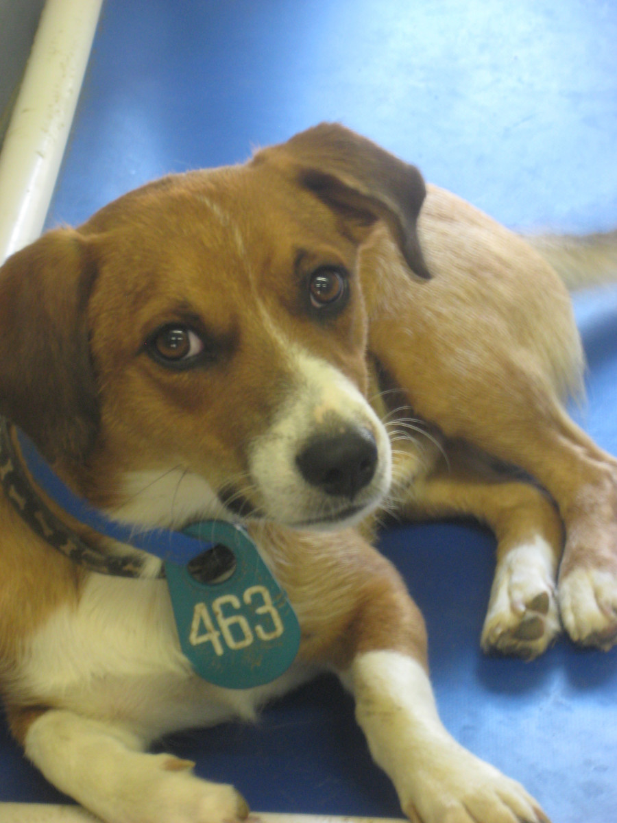 Dodger was returned to the shelter not once but twice, both times by owners who could not tolerate his high energy. He was eventually placed with a family with several children and another dog, who constantly play with Dodger and keep him engaged.