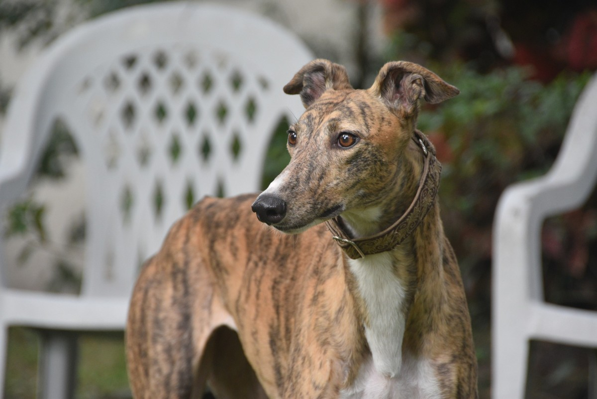 why-you-should-save-a-greyhound