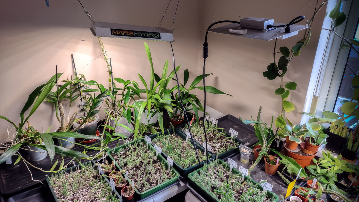 Seen here are Dendrobium Orchids, Zygopetalum Orchids, Epiphyllums, and Hoya kerrii, and in the trays are rows of Epiphyllum seedlings.