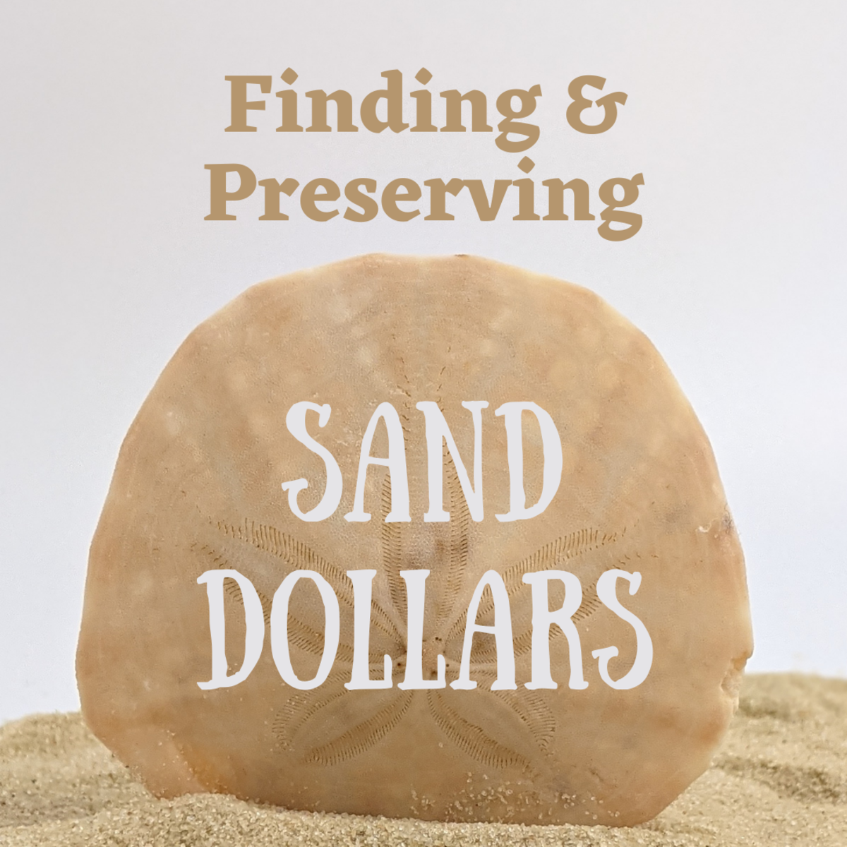 Learn how to identify and preserve sand dollars to use for craft projects.