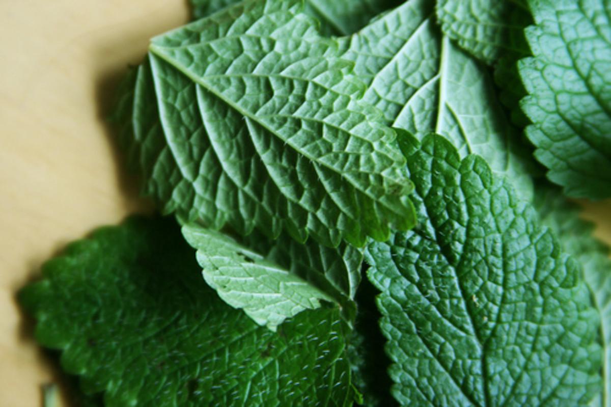 Lemon balm is an effective natural shingles remedy.