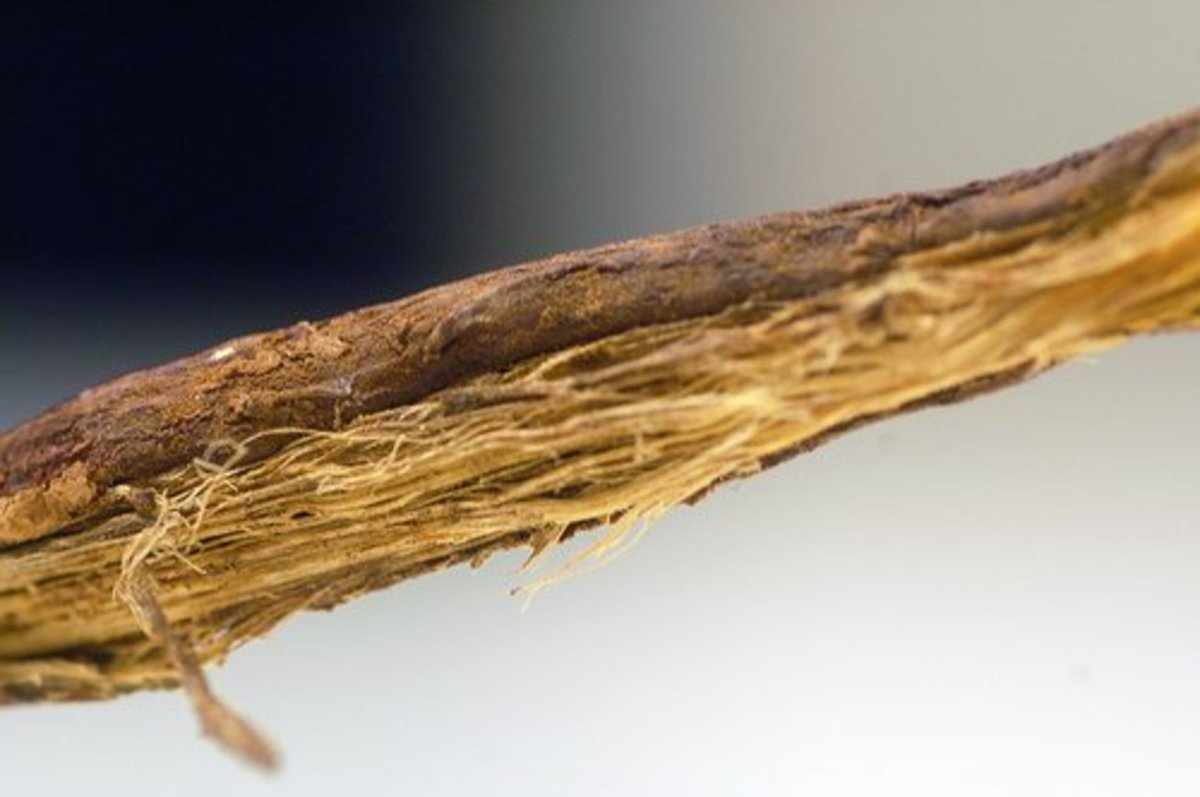 Licorice root is commonly used as a natural shingles remedy.