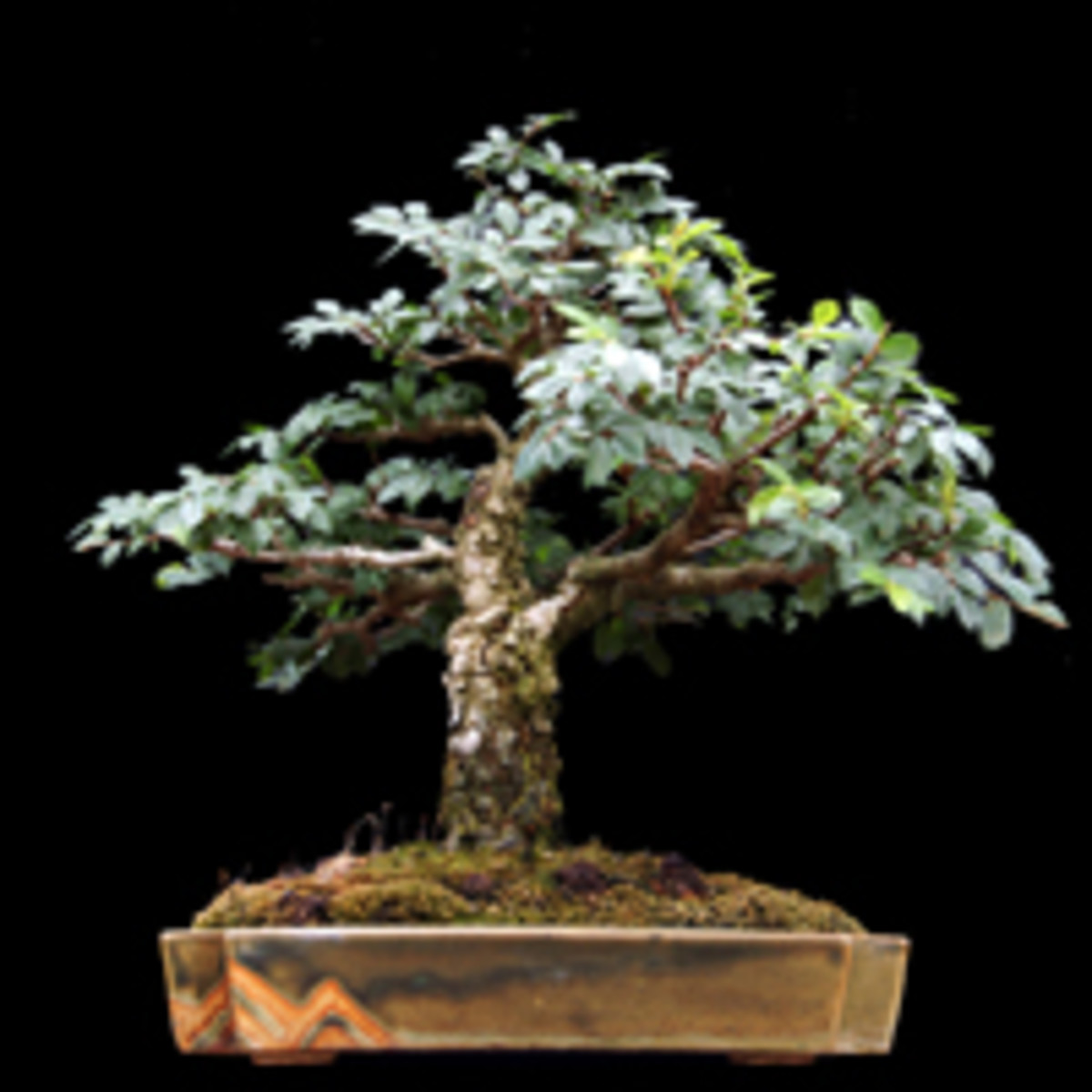In bonsai form
