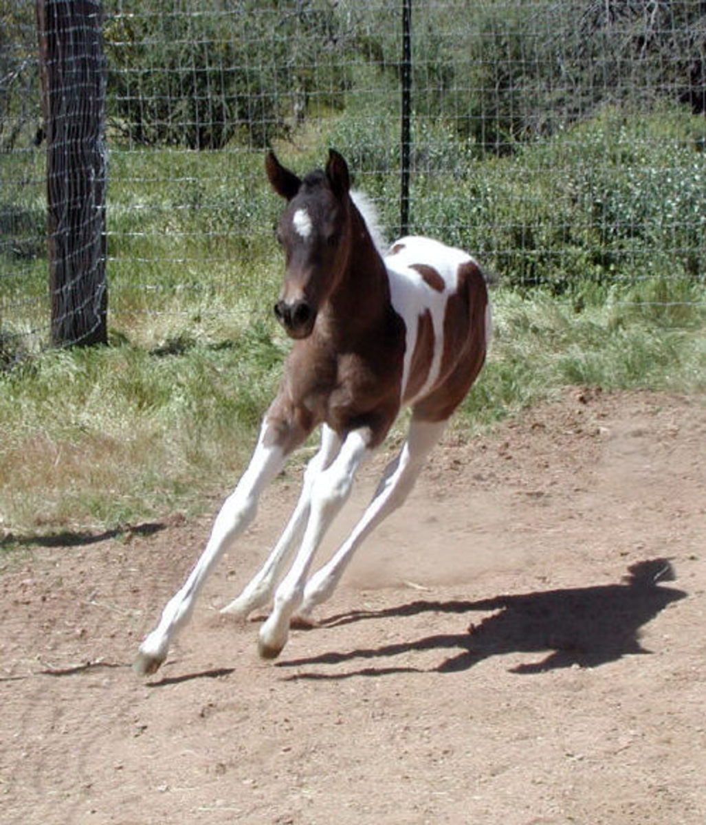 Half Arabian Pinto Colt Running.