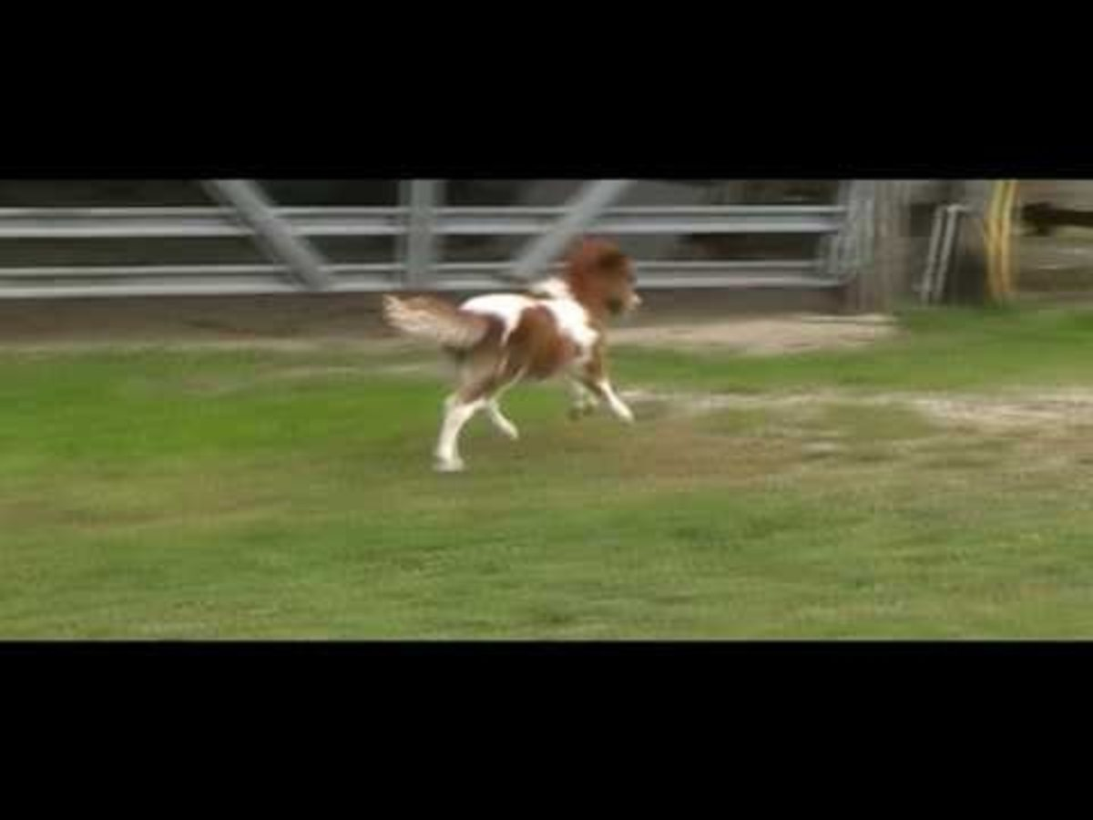 2011 Miniature Horse Foal - Dent Ciinnamon Charm