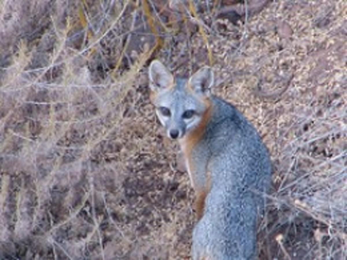 A resident grey fox